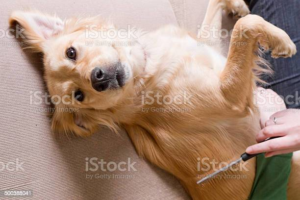 Owner combing her dog picture id500388041?b=1&k=6&m=500388041&s=612x612&h=9kahszuigpdskodgdgledwklik7qmp86qthryax9vfq=