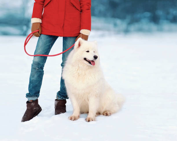 eigentümer halten weißen samojeden hund an der leine in winter park - leinenhosen frauen stock-fotos und bilder