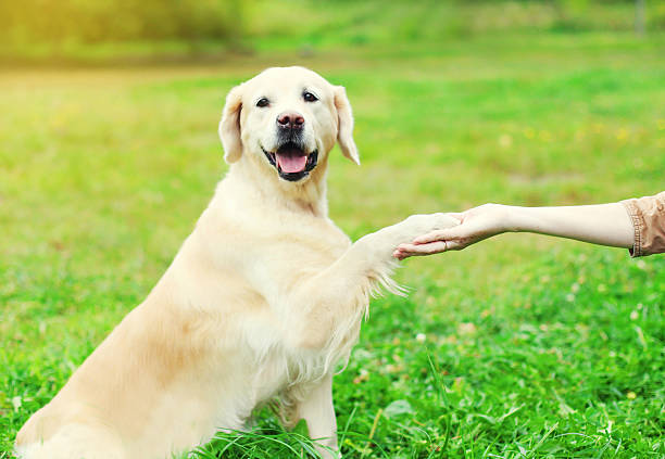 Eigentümer-Golden Retriever Hund gibt Pfote auf Gras – Foto