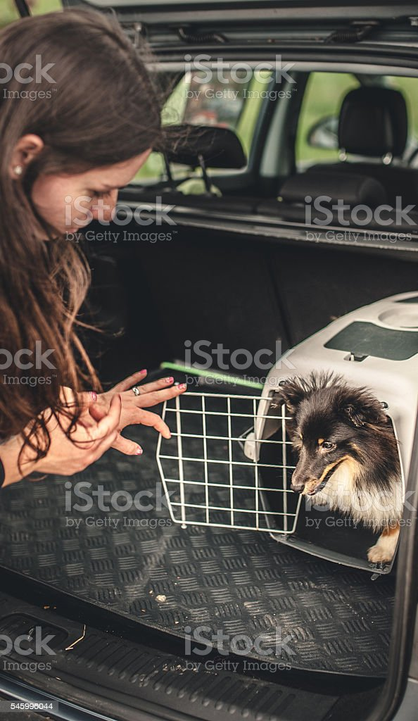 Owner transporting her dog in a car stock photo