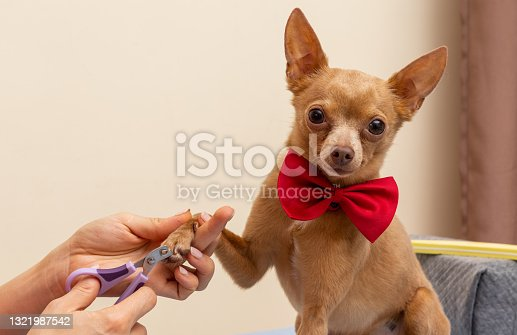 istock Owner trims dog's nails. Adorable small dog wearing red butterfly tie, domestic pet life. 1321987542