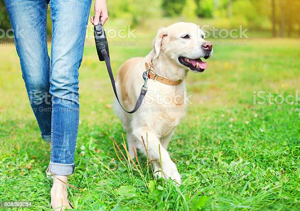 Owner walking with golden retriever dog together in park picture id508593284?b=1&k=6&m=508593284&s=612x612&h=kdc xw8ssncpwsjmrioj2le8m8dwa7skk1jv7yqyo3m=