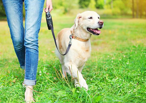 Owner walking with golden retriever dog together in park picture id508593284?b=1&k=6&m=508593284&s=612x612&w=0&h=cjngtfxvol91t54wjisf5f0038wkgwdq8gx0qrsxekg=