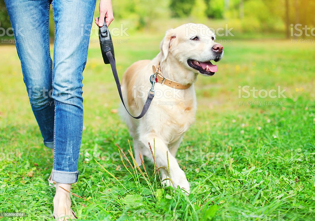 Owner walking with Golden Retriever dog together in park stock photo