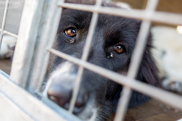 Ownerless dog in a cage Homeless and ownerless sad dogs are kept in cages. animal testing stock pictures, royalty-free photos & images