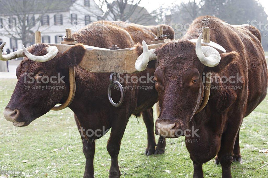 Ox and Yoke royalty-free stock photo