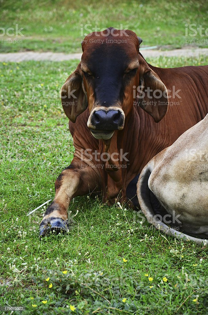 Ox at Thailand royalty-free stock photo