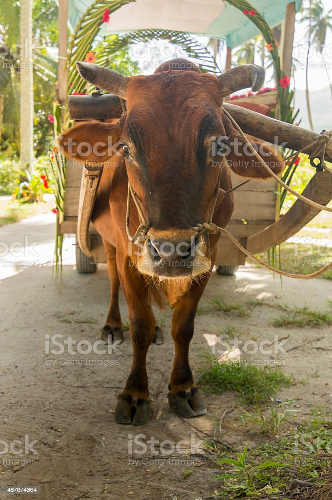 Ox cart for people transportation in La Digue Island, Seychelles stock photo