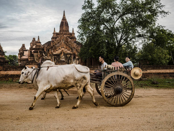 Ox cart in Bagan Myanmar People driving an ox cart in front of an ancient temple in Bagan Myanmar working animal stock pictures, royalty-free photos & images