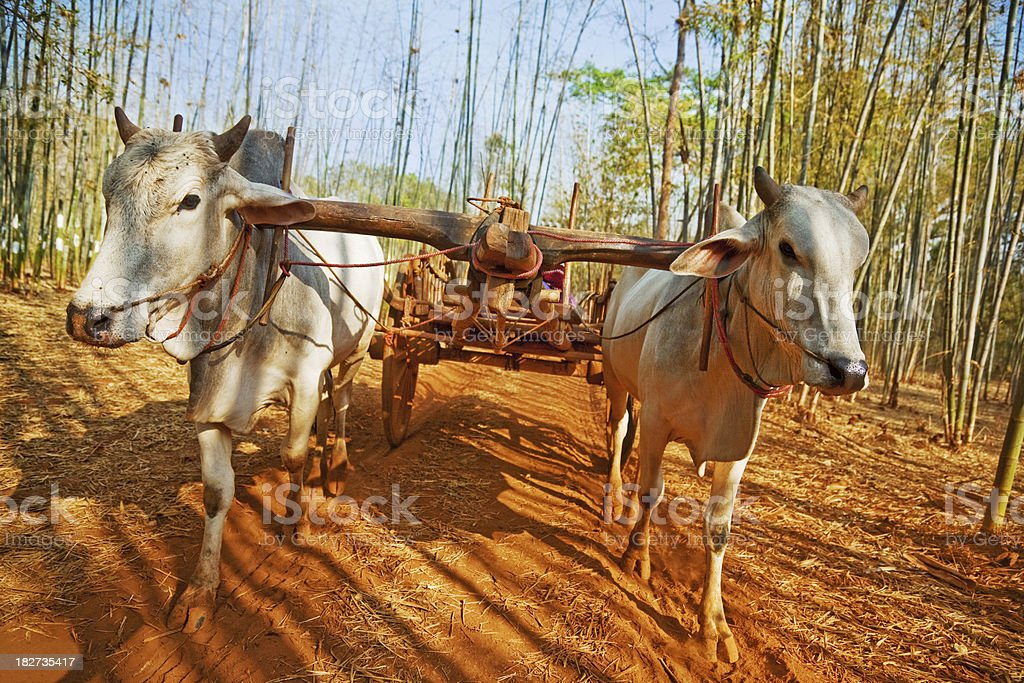 Ox Cart in Bamboo Forest stock photo