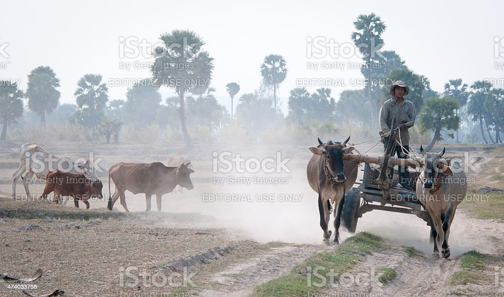 Ox cart on the countryside road in Vietnam stock photo