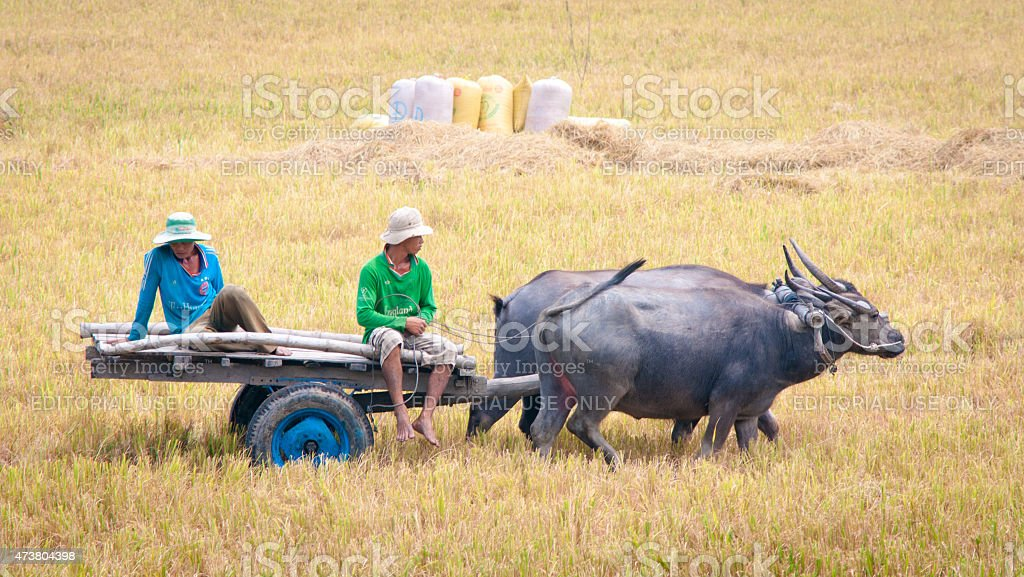 Ox cart on the paddy rice field in Vietnam stock photo