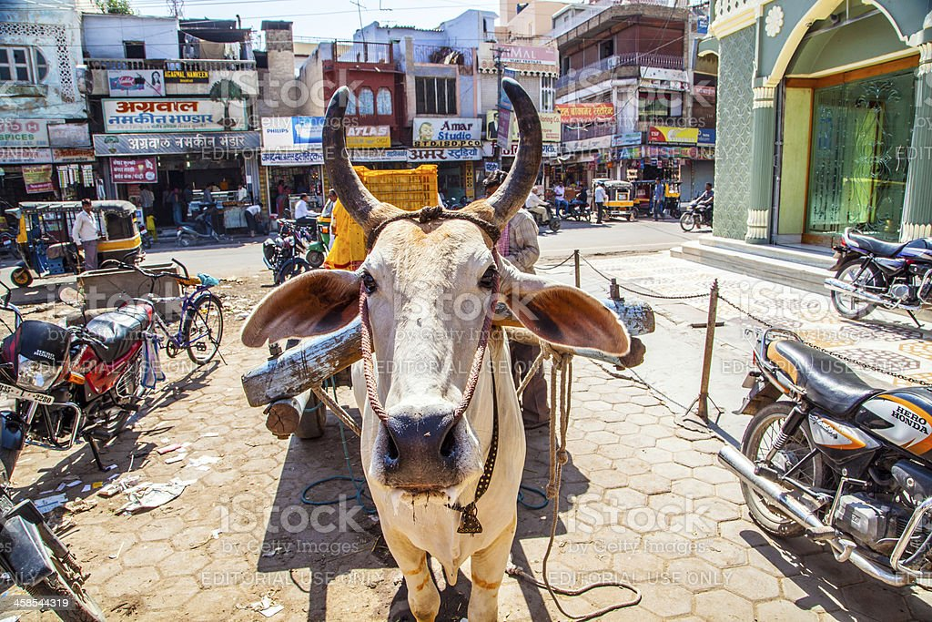 ox cart transportation in india stock photo