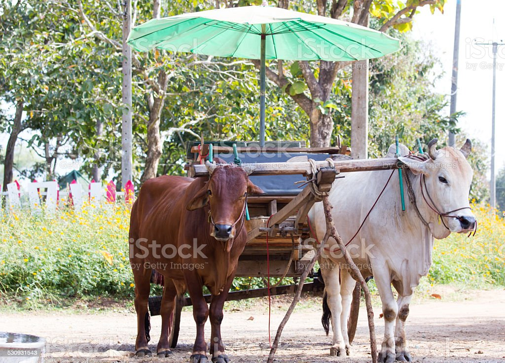 Ox cart transportation in Thailand stock photo