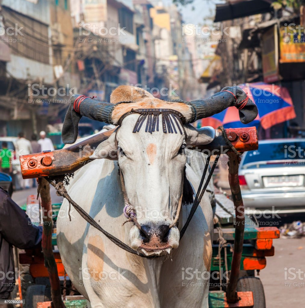 Ox cart transportation on early morning  in Delhi, India stock photo