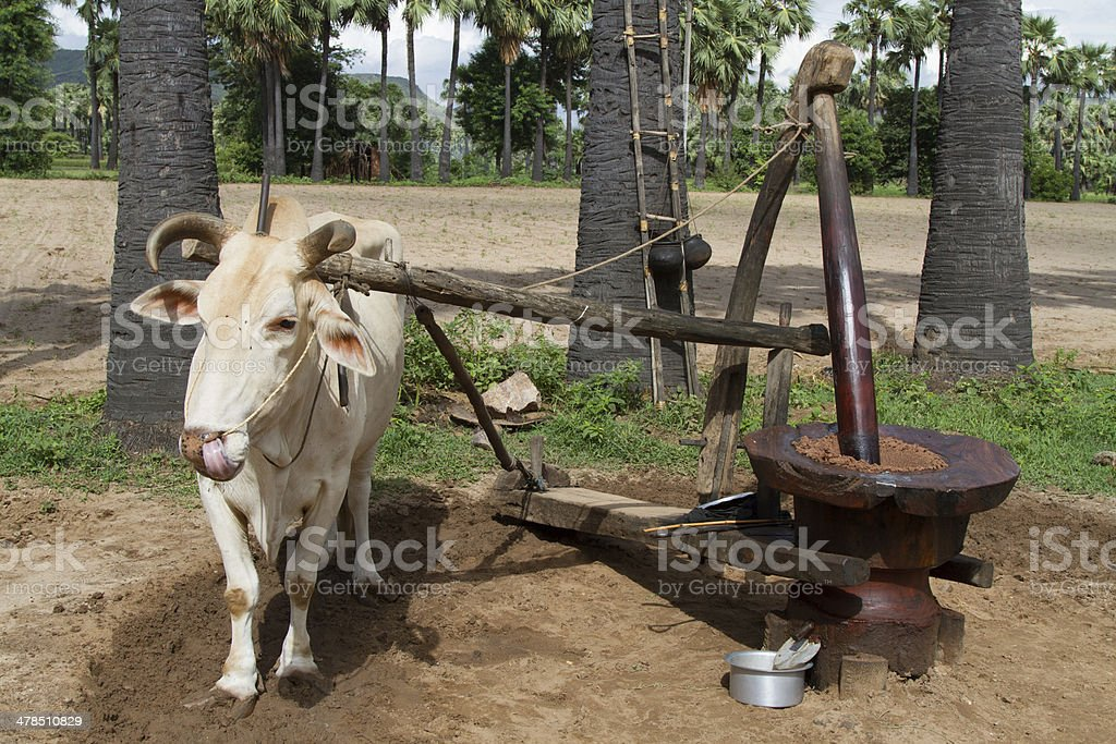 Ox driven sesame and peanut grinder. stock photo