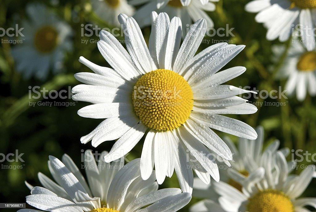 Ox eye daisy stock photo