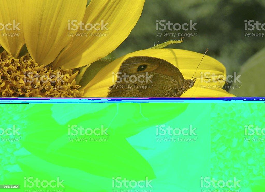Ox eye on sunflower royalty-free stock photo