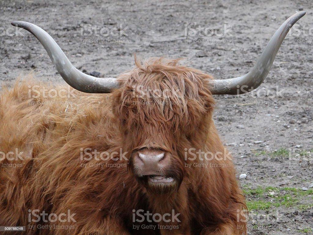 Ox head stock photo