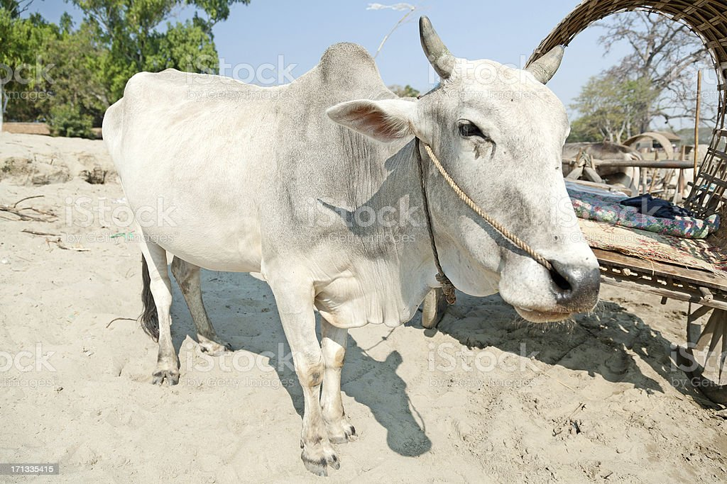 Ox in Mingun, Myanmar stock photo