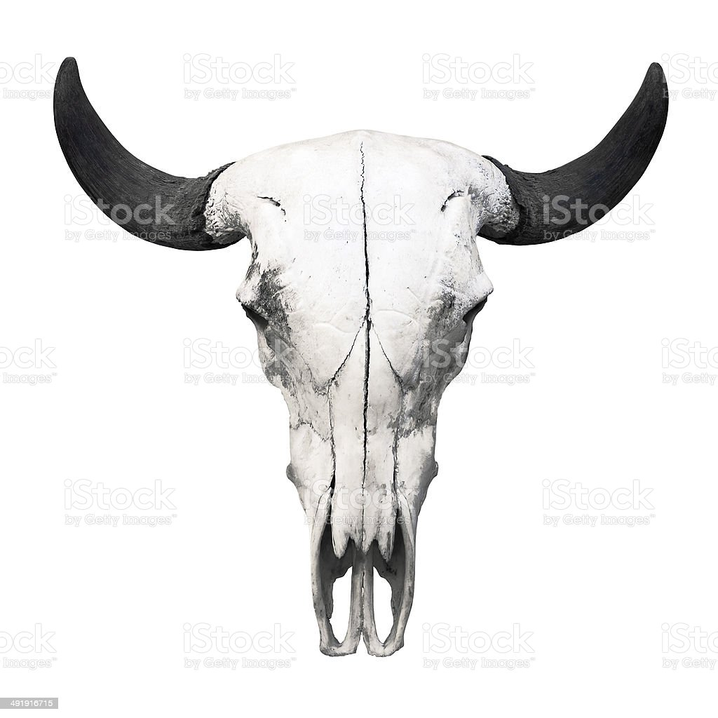 Ox skull on white background stock photo