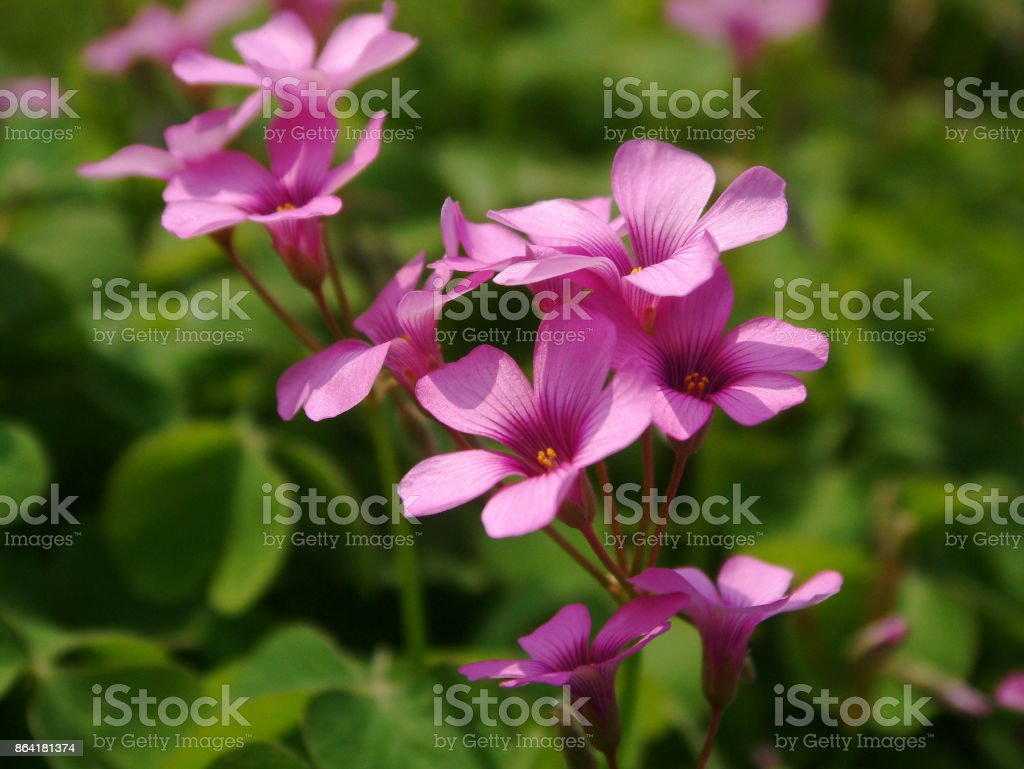 Oxalis corymbosa royalty-free stock photo