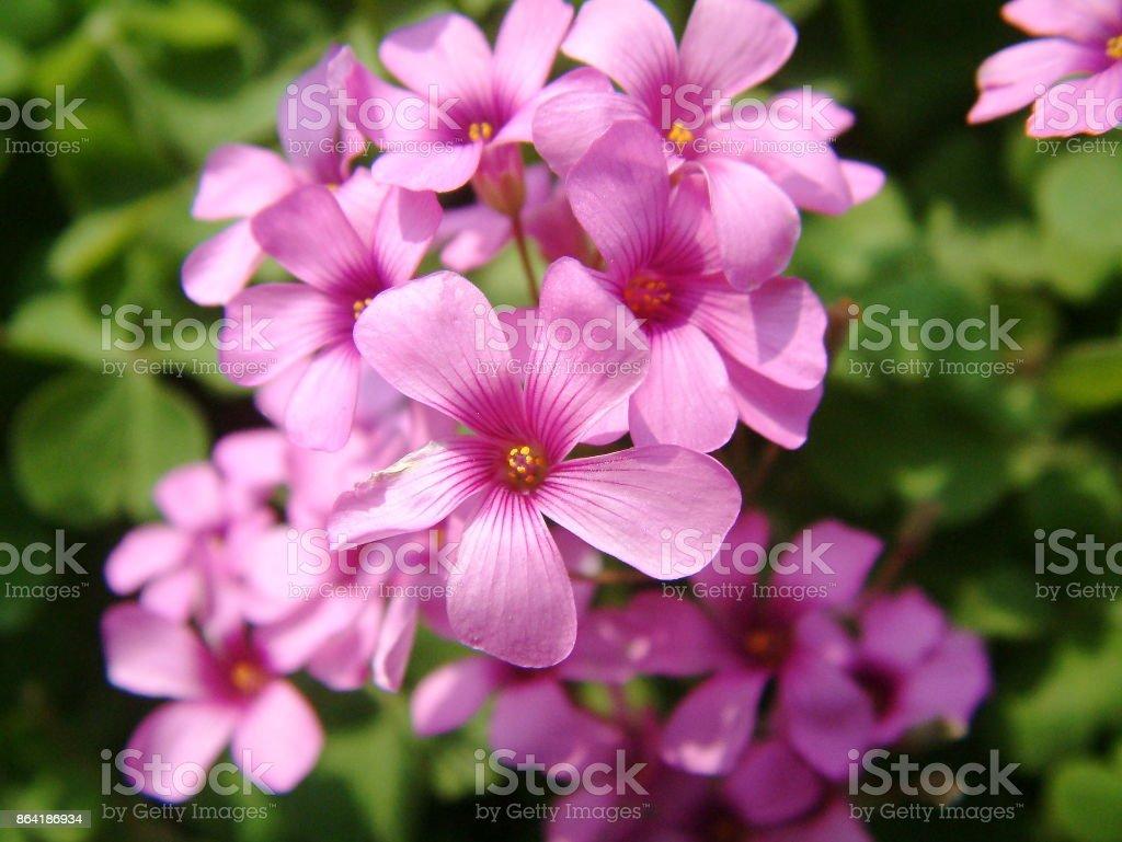 Oxalis corymbosa royalty-free stock photo
