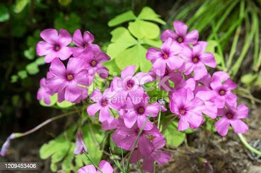 Oxalis debilis, the large-flowered pink-sorrel, pink woodsorrel in bloom, purple flowering small plant