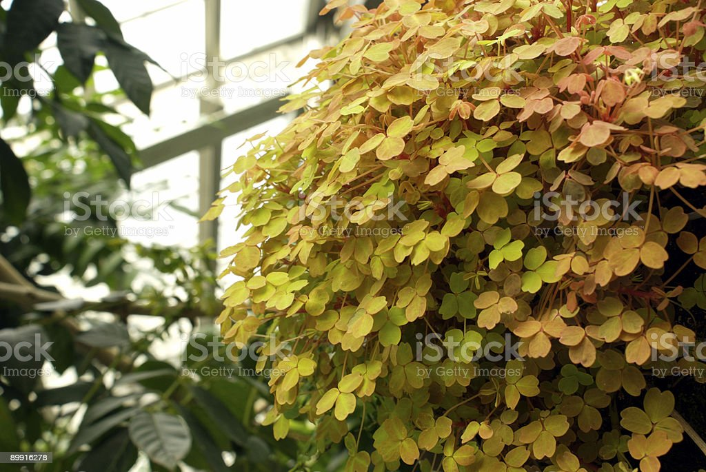 Oxalis Spiralis Plant royalty-free stock photo