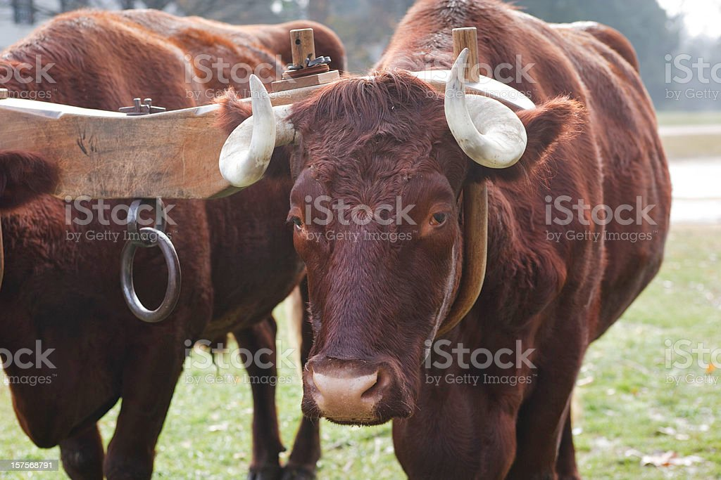 Oxen and Yoke royalty-free stock photo