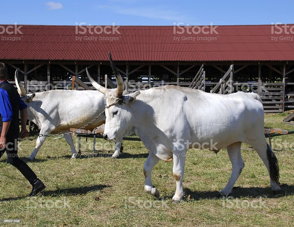 oxen walking out from stock-yard royalty-free stock photo