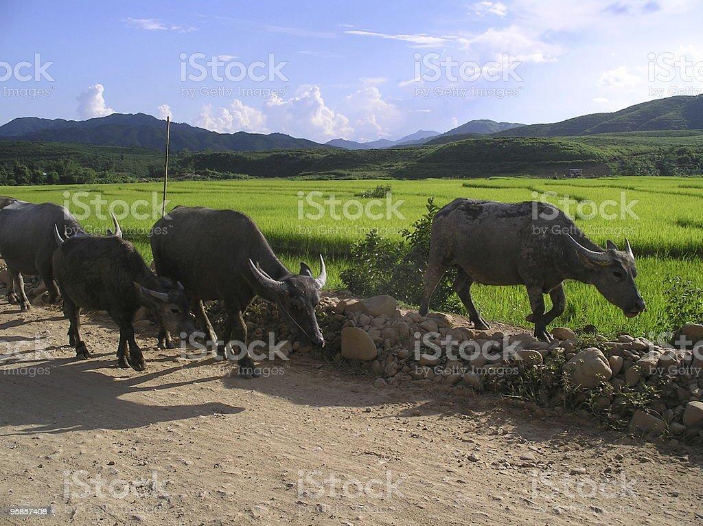 Oxes vor einem Reisfeld – Foto