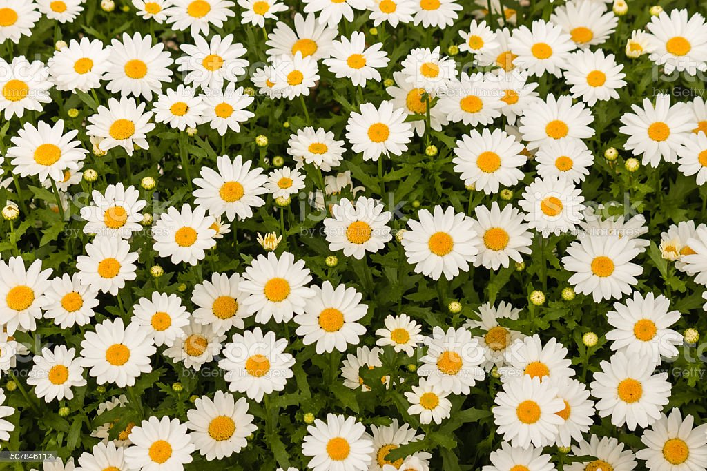 oxeye daisies background stock photo