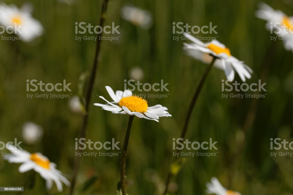Oxeye daisies (Leucanthemum vulgare) in a meadow. - Royalty-free Agricultural Field Stock Photo