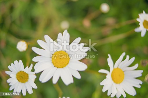 Oxeye daisies in a springtime meadow during sunset over the river IJssel near Zwolle in The Netherlands.