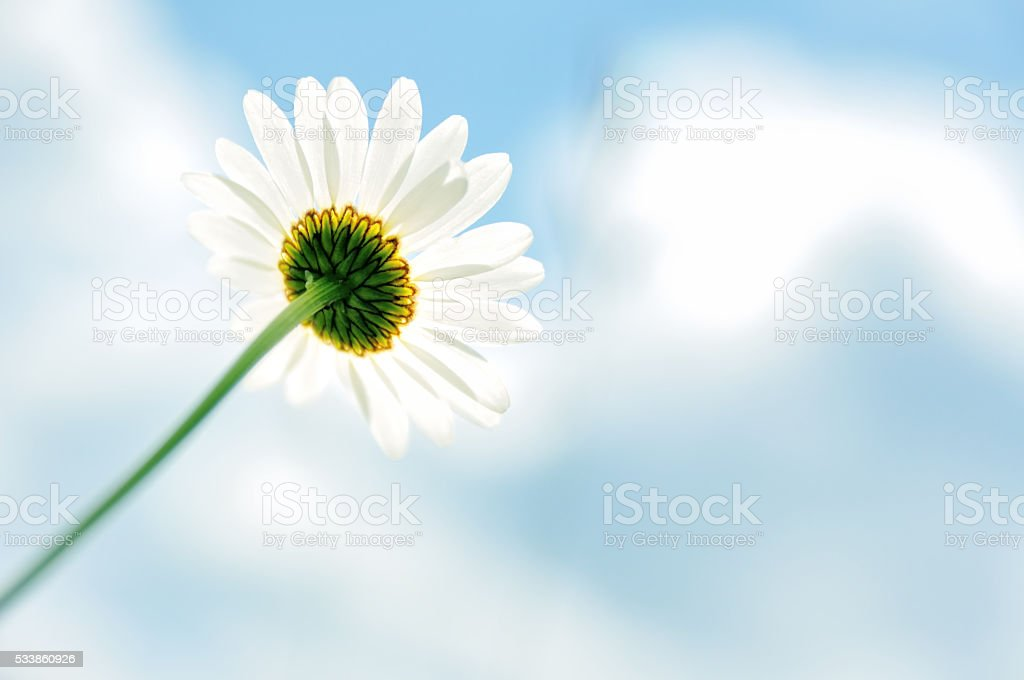 Oxeye daisy flower and a blue sky stock photo