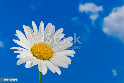Delicate white bloom with yellow center on sunny blue sky. Artistic optimistic background. Beautiful flowering wild herb. Idea of purity and hope