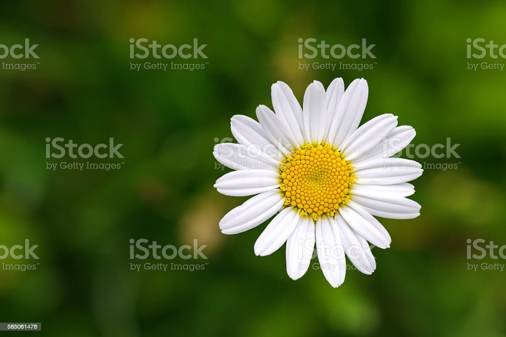 Oxeye daisy flower in yellow and white color, blurred background stock photo