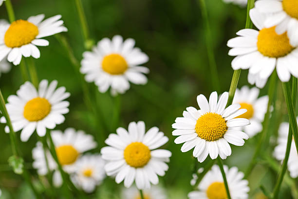 oxeye daisy flower in yellow and white color in meadow - madeliefje stockfoto's en -beelden