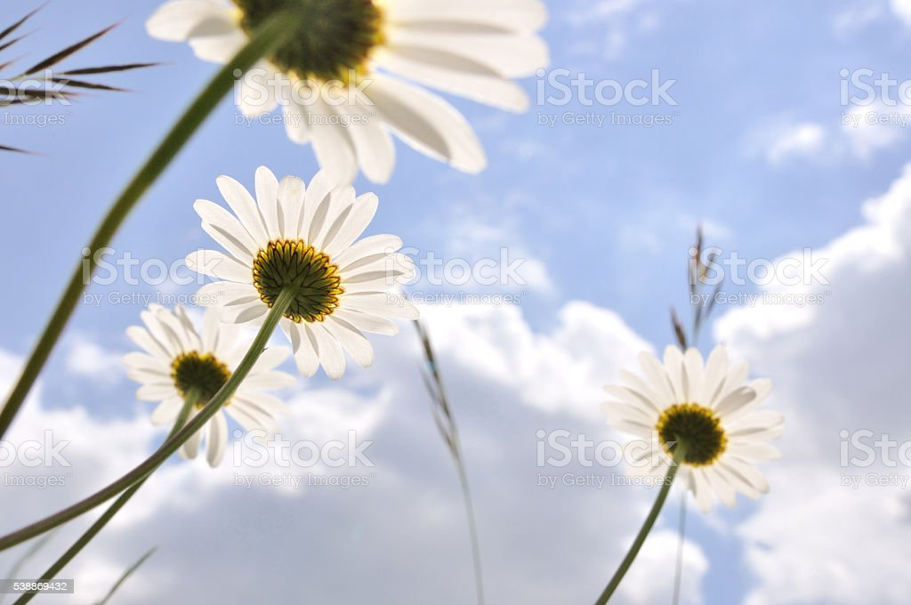 Oxeye daisy flowers and a blue sky stock photo