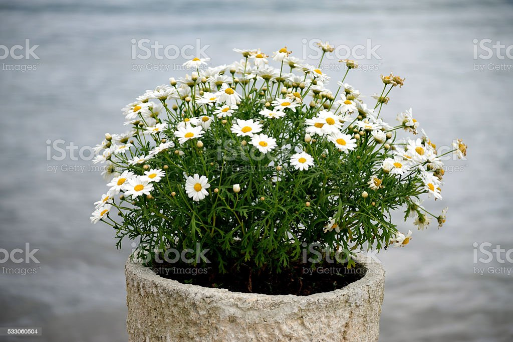Oxeye Daisy in the flower pot stock photo
