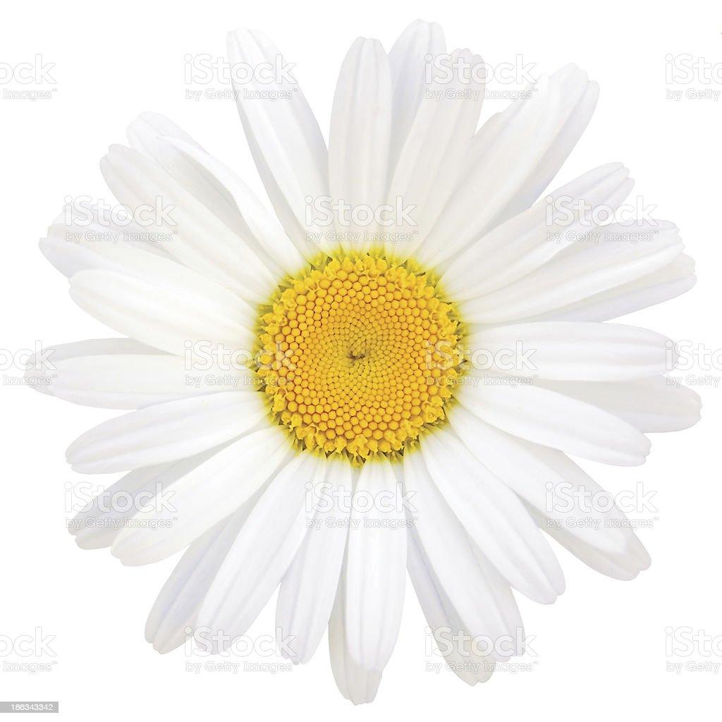 Oxeye Daisy Leucanthemum vulgare Lam., Isolated Macro Closeup Studio Shot stock photo