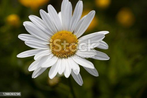 A large daisy variety