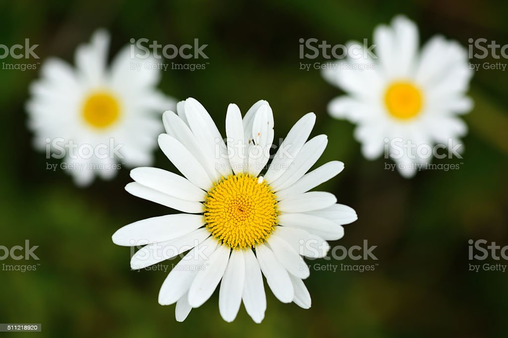 Ox-eye daisy (Leucanthemum vulgare) stock photo