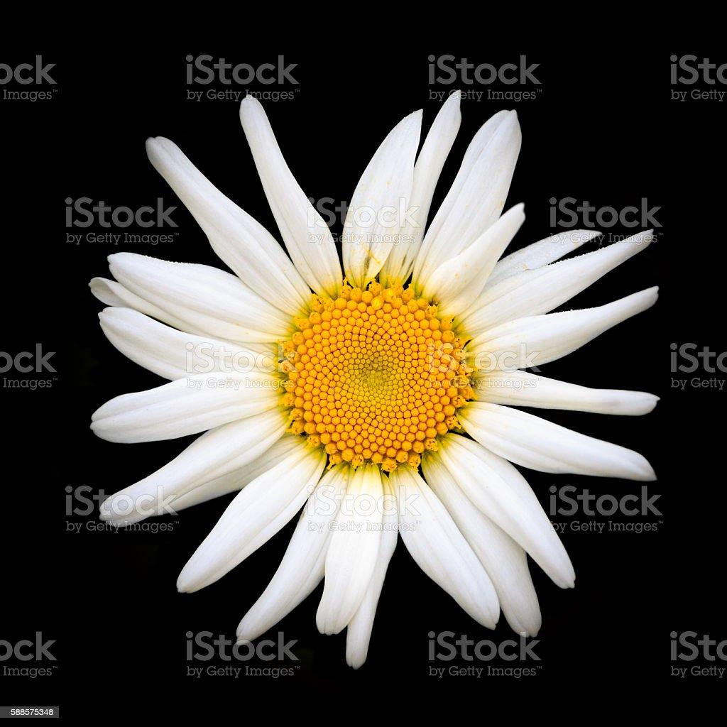 Oxeye daisy stock photo