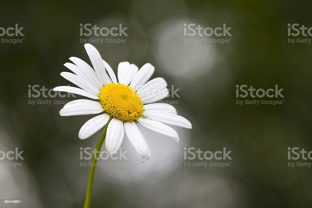 Marguerites oeil-de-boeuf photo libre de droits