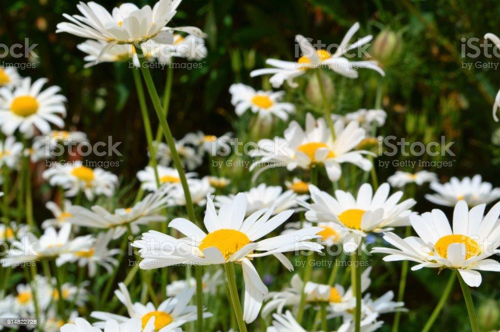 Oxeye Daisy (Leucanthemum Vulgare) – Foto