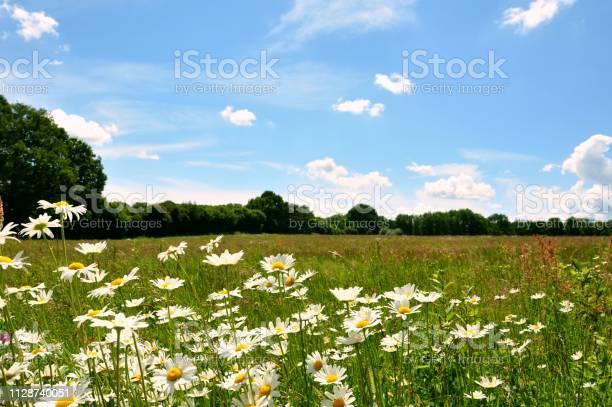 Oxeye daisy wildflower meadow picture id1128740051?b=1&k=6&m=1128740051&s=612x612&h=o5yxvlwbbyr0hvfagziniobarc3j4lbehe1zc aotfs=
