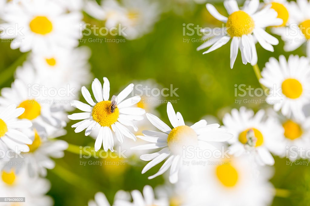 Oxeye Daisy with Fly stock photo