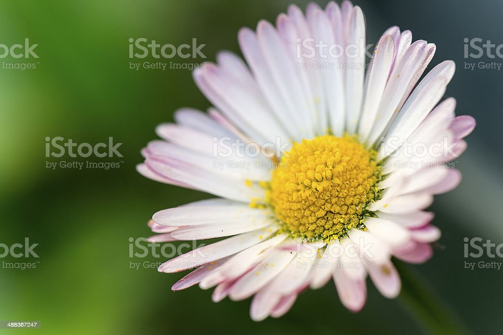 Ox-Eye daisy (Leucanthemum vulgare) with white and pink petals stock photo